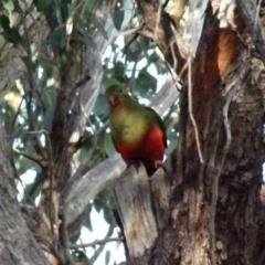 Alisterus scapularis (Australian King-Parrot) at Queanbeyan West, NSW - 30 Jul 2021 by Paul4K