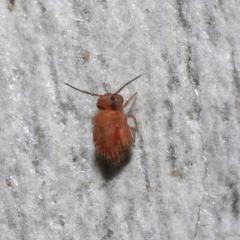 Symphypleona sp. (order) (Globular springtail) at Acton, ACT - 25 Jul 2021 by TimL