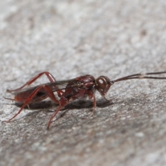 Unidentified Parasitic wasp (numerous families) (TBC) at Acton, ACT - 16 Jul 2021 by TimL