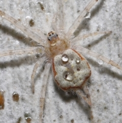 Tamopsis sp. (genus) (Two-tailed spider) at Downer, ACT - 20 Jul 2021 by TimL