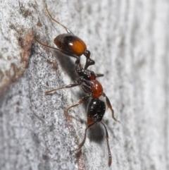 Chelaner kiliani (Kilian's ant) at Downer, ACT - 20 Jul 2021 by TimL
