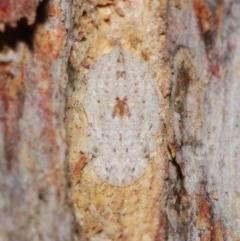 Ledromorpha planirostris (A leafhopper) at Acton, ACT - 23 Jul 2021 by TimL