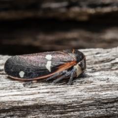 Eurymela fenestrata (Gum tree leafhopper) at Jacka, ACT - 29 Jul 2021 by Roger