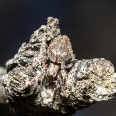 Backobourkia sp. (genus) (TBC) at Jacka, ACT - 29 Jul 2021 by Roger