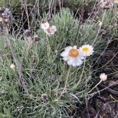Leucochrysum albicans subsp. tricolor (Hoary Sunray) at Belconnen, ACT - 31 Jul 2021 by Melissa