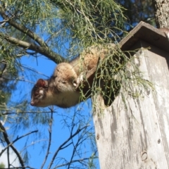 Pseudocheirus peregrinus (Common Ringtail Possum) at Bowral, NSW - 27 Sep 2014 by Piggle