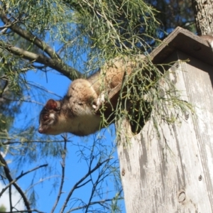 Pseudocheirus peregrinus (TBC) at suppressed by Piggle