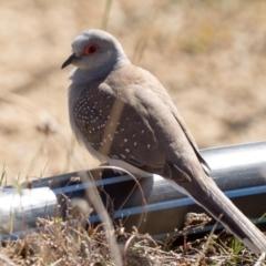 Geopelia cuneata (Diamond Dove) at Booth, ACT - 31 Jul 2021 by patrickcox
