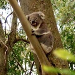 Phascolarctos cinereus (Koala) at Bowral, NSW - 16 Sep 2014 by Piggle
