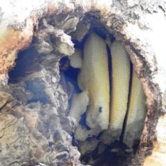 Apis mellifera (European honey bee) at Kambah, ACT - 31 Jul 2021 by HelenCross