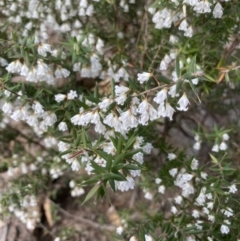 Unidentified Other Shrub (TBC) at suppressed - 31 Jul 2021 by JanetMW