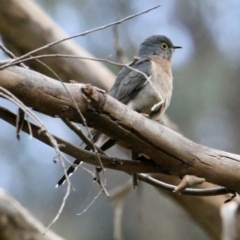 Cacomantis flabelliformis (Fan-tailed Cuckoo) at Springdale Heights, NSW - 29 Jul 2021 by PaulF