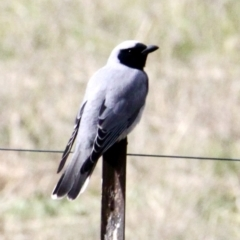 Coracina novaehollandiae (Black-faced Cuckooshrike) at Springdale Heights, NSW - 29 Jul 2021 by PaulF