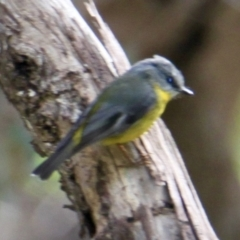 Eopsaltria australis (Eastern Yellow Robin) at Springdale Heights, NSW - 29 Jul 2021 by PaulF