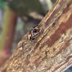 Unidentified Jumping & peacock spider (Salticidae) (TBC) at Murrumbateman, NSW - 29 Jul 2021 by SimoneC