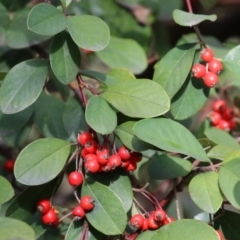 Cotoneaster glaucophyllus (Cotoneaster) at Symonston, ACT - 31 Jul 2021 by RodDeb