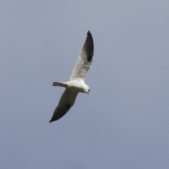Elanus axillaris (Black-shouldered Kite) at Holt, ACT - 27 Jul 2021 by AlisonMilton