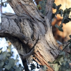 Podargus strigoides (Tawny Frogmouth) at Hughes, ACT - 29 Jul 2021 by AlisonMilton