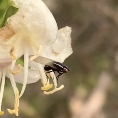 Unidentified Other true fly (TBC) at Murrumbateman, NSW - 31 Jul 2021 by SimoneC