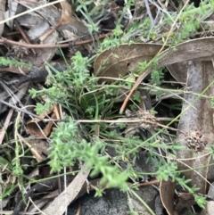 Galium gaudichaudii subsp. gaudichaudii (Rough bedstraw) at O'Malley, ACT - 24 Jul 2021 by Tapirlord