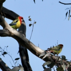 Platycercus eximius (Eastern Rosella) at Springdale Heights, NSW - 27 Jul 2021 by PaulF
