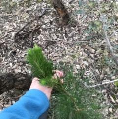 Pinus radiata (Monterey or Radiata Pine) at O'Malley, ACT - 24 Jul 2021 by Tapirlord