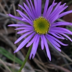 Brachyscome spathulata (Coarse Daisy, Spoon-leaved Daisy) at Acton, ACT - 31 Jul 2021 by Ned_Johnston