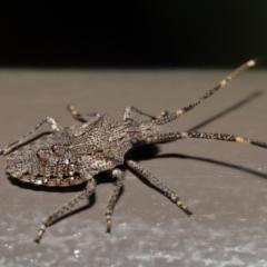 Alcaeus varicornis (Acacia shield bug) at Acton, ACT - 25 Jun 2021 by TimL