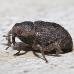 Unidentified Weevil (Curculionoidea) (TBC) at Downer, ACT - 4 Jun 2021 by TimL