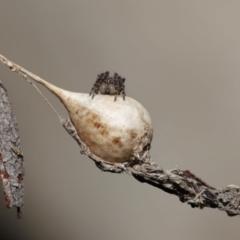 Araneus sp. (TBC) at Acton, ACT - 23 Jun 2021 by TimL
