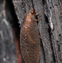 Psychobiella sp. (genus) (TBC) at Acton, ACT - 23 Jun 2021 by TimL