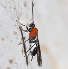 Braconidae sp. (family) (Unidentified braconid wasp) at Acton, ACT - 25 Jun 2021 by TimL