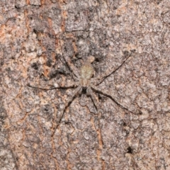 Tamopsis sp. (genus) (Two-tailed spider) at Acton, ACT - 11 Jun 2021 by TimL