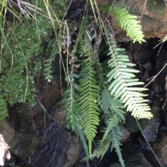 Unidentified Fern / Clubmoss (TBC) at Acton, ACT - 1 Aug 2021 by Ned_Johnston