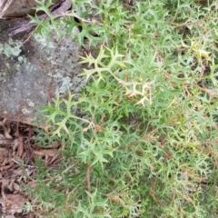 Grevillea ramosissima subsp. ramosissima (Fan Grevillea) at Paddys River, ACT - 31 Jul 2021 by jeremyahagan