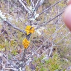 Teloschistes sp. (A lichen) at Paddys River, ACT - 31 Jul 2021 by jeremyahagan