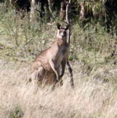 Macropus giganteus (Eastern Grey Kangaroo) at Springdale Heights, NSW - 27 Jul 2021 by PaulF
