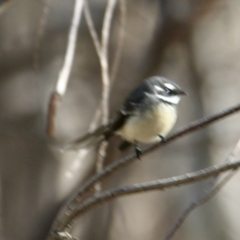 Rhipidura albiscapa (Grey Fantail) at Springdale Heights, NSW - 27 Jul 2021 by PaulF