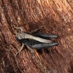 Cryptobothrus chrysophorus (Golden Bandwing) at Jacka, ACT - 28 Jul 2021 by Roger