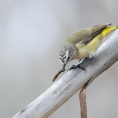 Acanthiza chrysorrhoa (Yellow-rumped Thornbill) at Rendezvous Creek, ACT - 27 Jul 2021 by Leo
