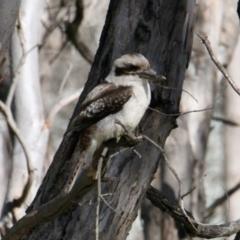 Dacelo novaeguineae (Laughing Kookaburra) at Table Top, NSW - 30 Jul 2021 by PaulF