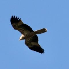 Haliastur sphenurus (Whistling Kite) at Table Top, NSW - 30 Jul 2021 by PaulF