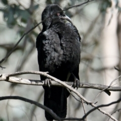 Corcorax melanorhamphos (White-winged Chough) at Table Top, NSW - 30 Jul 2021 by PaulF
