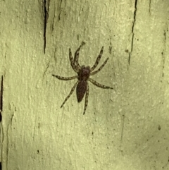 Helpis minitabunda (Threatening jumping spider) at Murrumbateman, NSW - 30 Jul 2021 by SimoneC