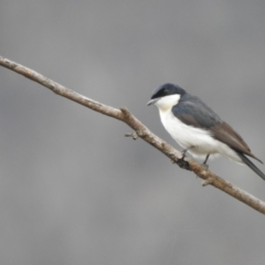 Myiagra inquieta (Restless Flycatcher) at Booth, ACT - 1 Aug 2021 by Liam.m