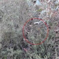 Hylacola pyrrhopygia (Chestnut-rumped Heathwren) at Carwoola, NSW - 1 Aug 2021 by Liam.m