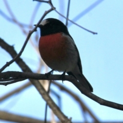 Petroica boodang (Scarlet Robin) at Table Top, NSW - 30 Jul 2021 by PaulF