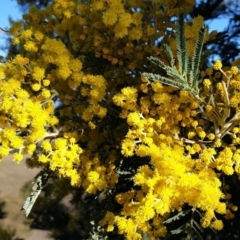 Acacia dealbata subsp. dealbata (Silver Wattle) at Cook, ACT - 28 Jul 2021 by drakes