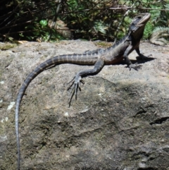 Intellagama lesueurii lesueurii (Eastern Water Dragon) at Blue Mountains National Park, NSW - 2 Dec 2019 by PatrickCampbell
