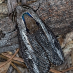 Endoxyla encalypti (Wattle Goat Moth) at Paddys River, ACT - 12 Nov 2018 by Bron